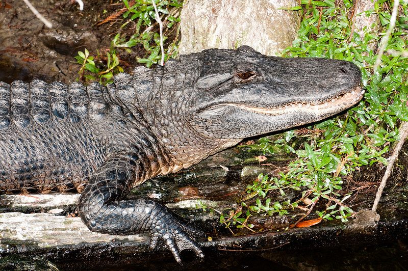 American Alligator just taking it easy
