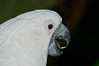 Close-up of a Cockatoo