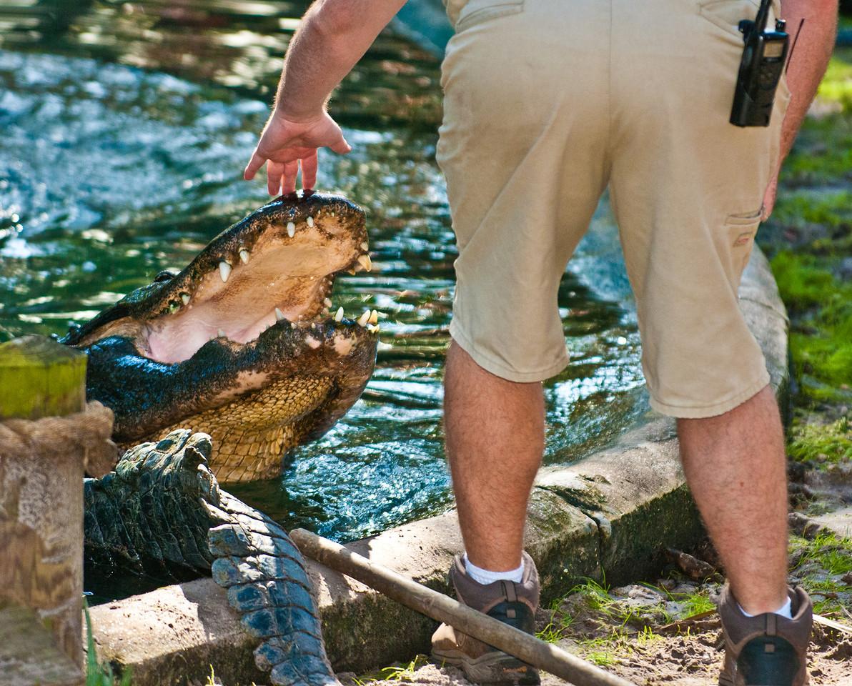 American Alligator - Nice Alligator!