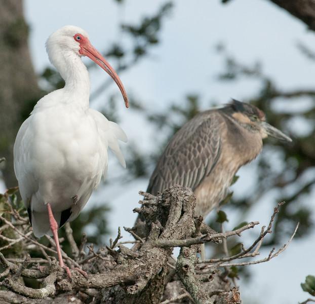 White Ibis and Black-Crowned Night Heron