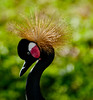 Black crowned-crane - I really like the gold looking crown