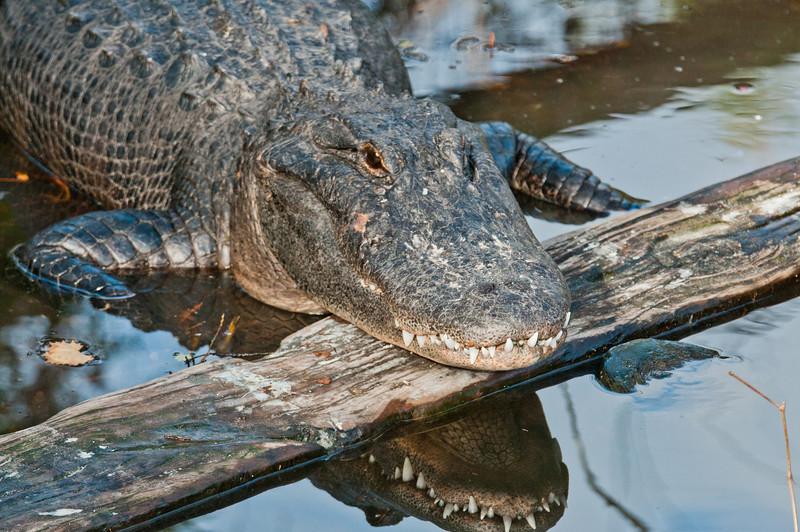 American Alligator - See my moth reflection