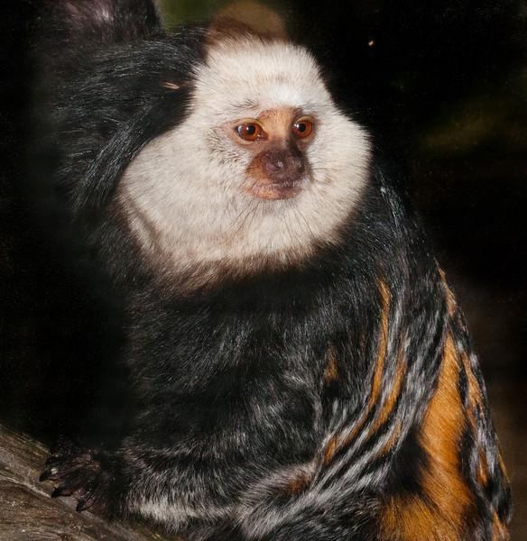 Geoffroy's Marmoset - What a cute face!
