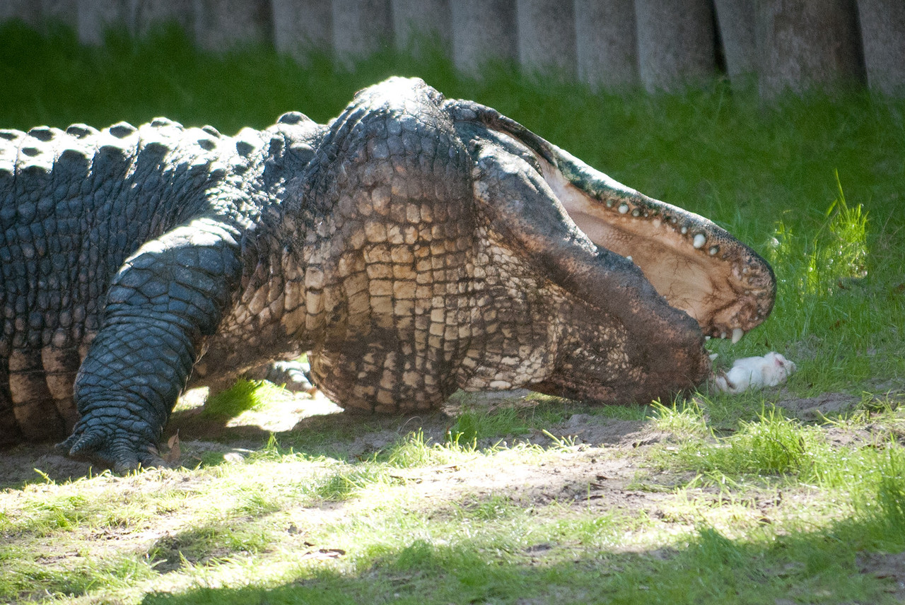 American Alligator going after a little white rodent