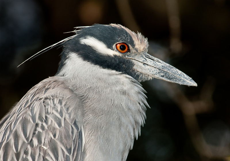 A close-up of a Yellow-Crowned Night Heron