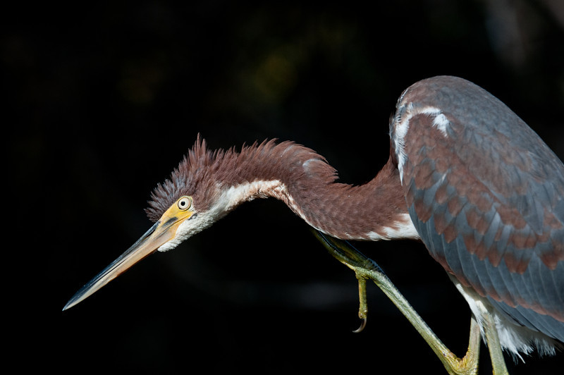 Tricolored Heron scratching itself