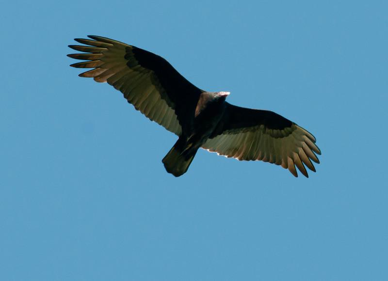 Fort Mose Historic State Park - Turkey Vulture
