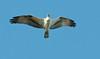 Fort Mose Historic State Park - Osprey