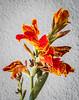Lilies of the Incas