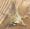 St Croix Anole on floor of our porch