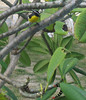 Bananaquit (Coereba flaveola) and a Frangipani Worm on Frangipani bush