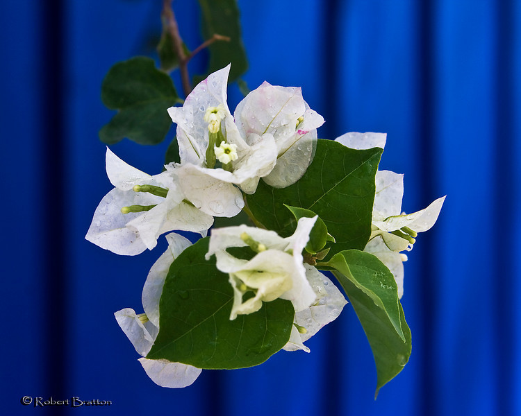White Bourganvila