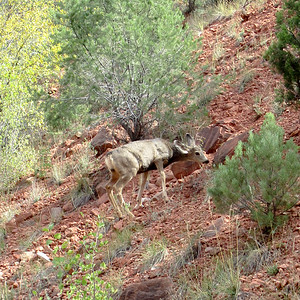 Mule deer along the side of the road. They are funny-looking. Cute.