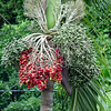 Palm tree fruits in the Caribbean island of Grenada.