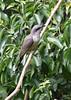 great mangrove cuckoo II