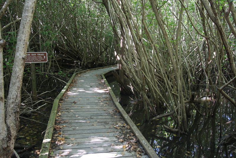 boardwalk in mangroves