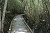 boardwalk in mangroves