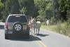 Begger donkeys on road hoping for a handout.