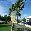 Banana Palm Tree on Independence Square in the Caribbean island of St Kitts.
