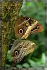 Owl Butterflies