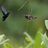 Purple-Throated Carib vs Black-Faced Grassquit