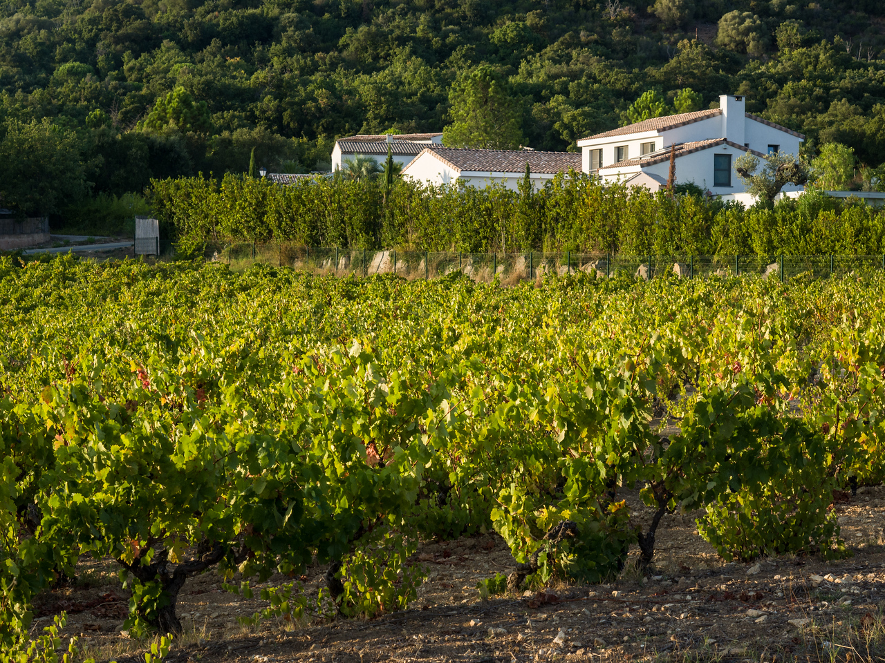 Early morning vineyard at Grimaud