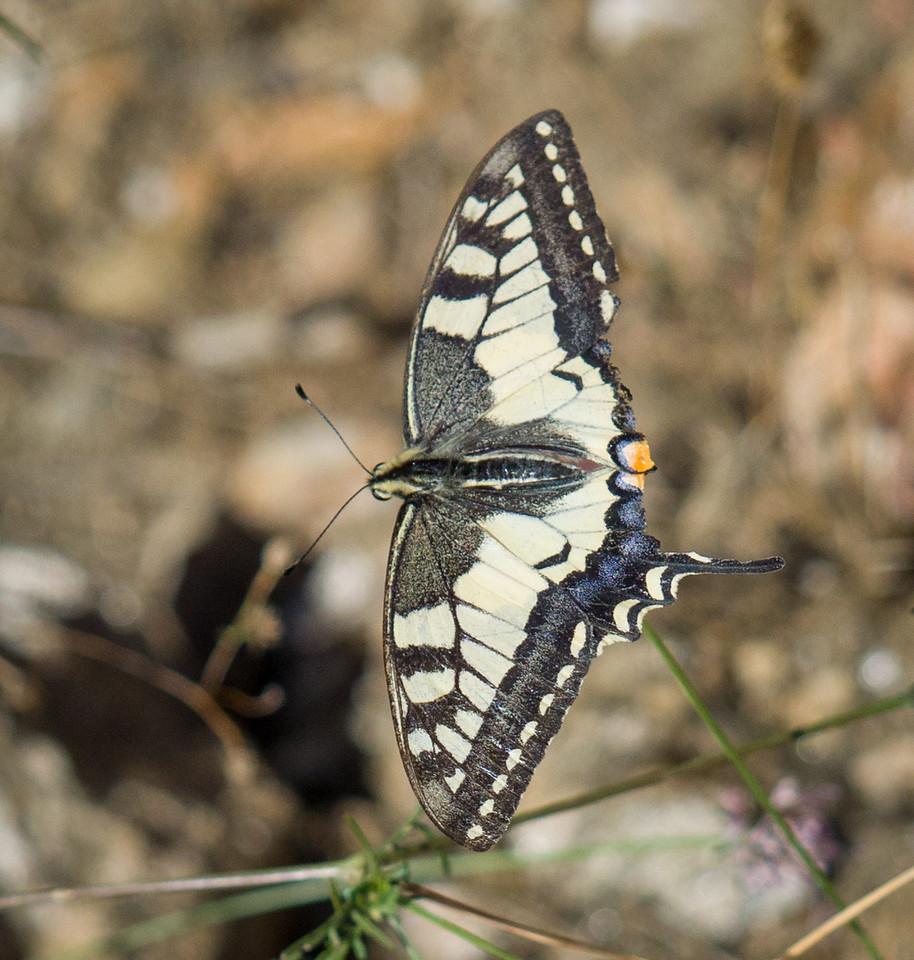 Swallowtail - Massif de Maures