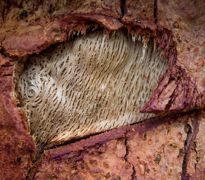 Cork Oak close-up