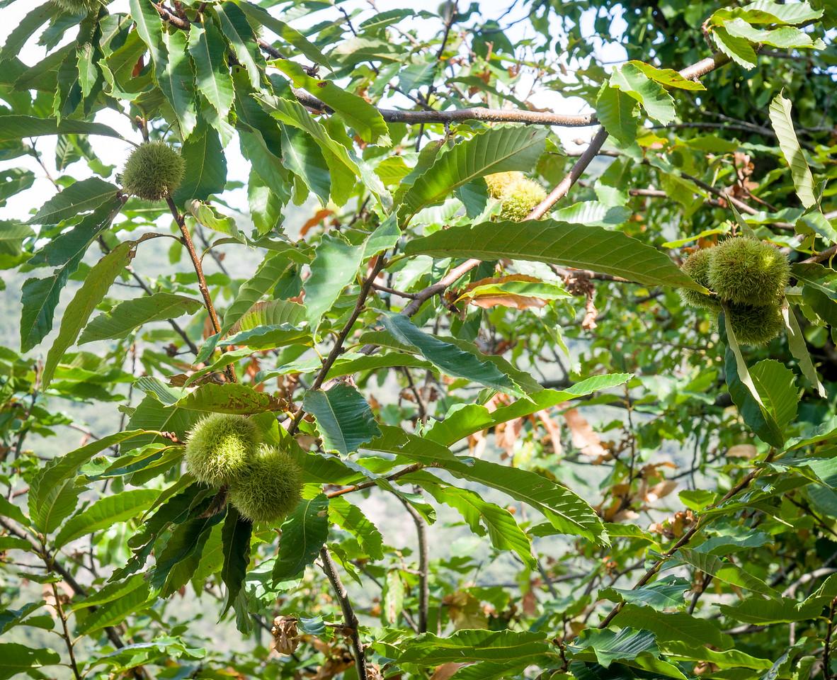 Chestnuts growing in Massif de Maures
