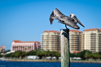 Pelican resting in St. Pete Fl  Oct 2011