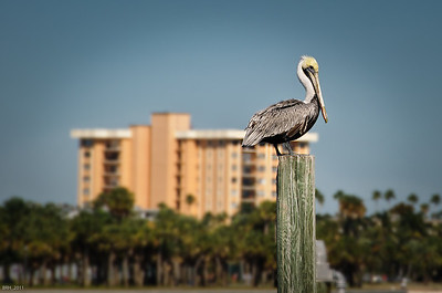 Pelican in St. Pete Fl  Oct 2011