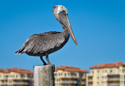 Pelican Watch  St. Pete Fl Oct 2011