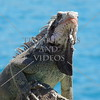 Iguana at St Thomas, US Virgin Islands.