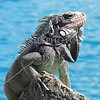 Iguana on the rock.