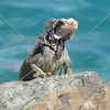 Iguana on the rocks.