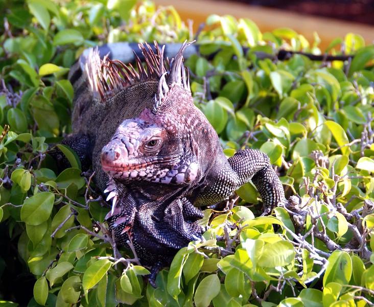 Iguana on shrubs at Havensight Pier in St Thomas USVI  11/19/06