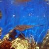Stingray in St Thomas at Coral World 11/19/06