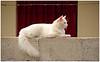 Un gato blanco.