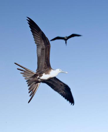 Frigate birds_50804_18_Ted_Davis_310_430_2639