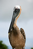 Brown_Pelican_80512_58_Ted Davis