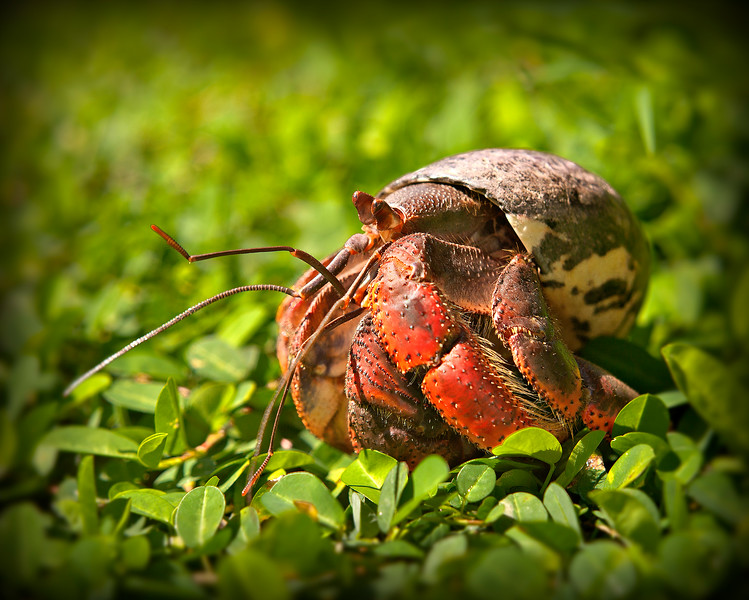 Caribbean Hermit Crab  Photo by Ted Davis