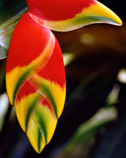 Heliconia_pendula_photo by Ted Davis