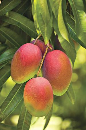 mango, mangoes, mango trees mangoes on a tree, bunches of hanging mangoes, hanging mangoes, mango orchard, mango grove, ripe mangoes, ripe mango