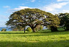 Butler Bay Mahogany Tree_41203_photo_Ted_Davis