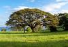 Butler Bay Mahogany Tree_41203_photo_Ted_Davis