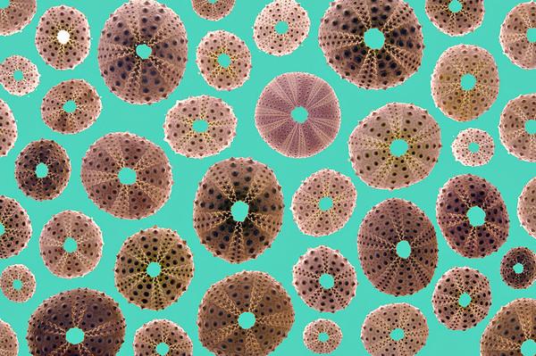 Urchin Carnival