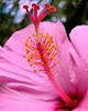 Pink Hibiscus_8x10_40901_054_Ted_Davis_310_430_2639