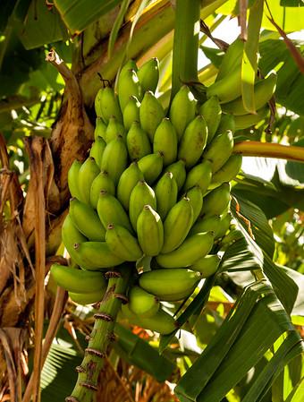 Hand_of_Bananas_10603_42_Ted Davis_310-860-6001
