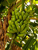 Hand_of_Bananas_10603_42_Ted Davis_310-860-6001