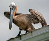 Brown_Pelican_80512_48_Ted Davis_310-860-6001